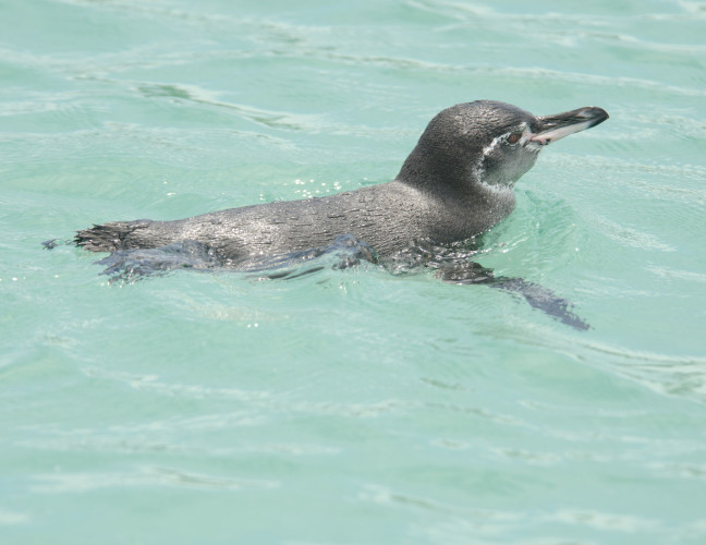 A Scary Galapagos Penguin