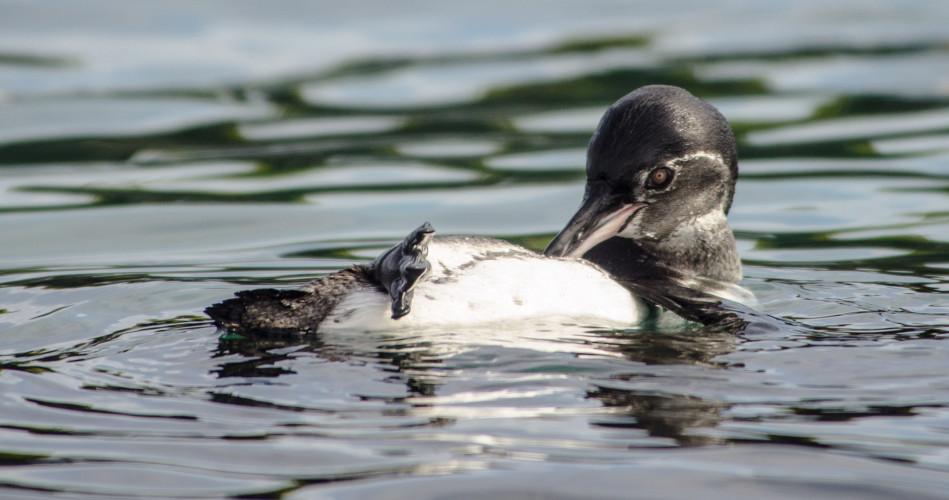 Galapagos Penguin Grooming