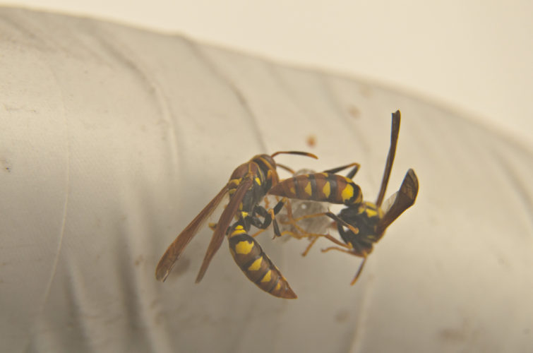 Yellow Paper Wasps