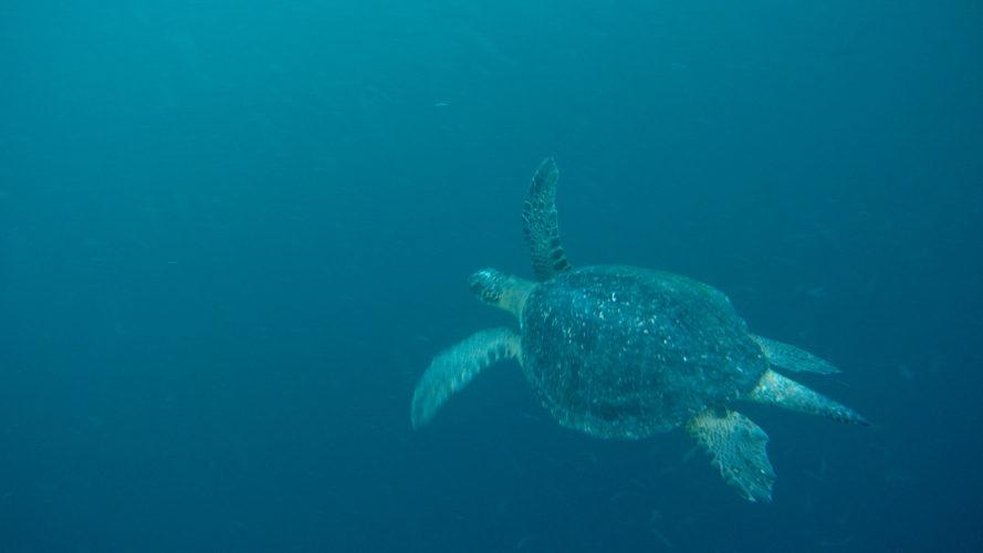 Sea Turtle at Kicker Rock