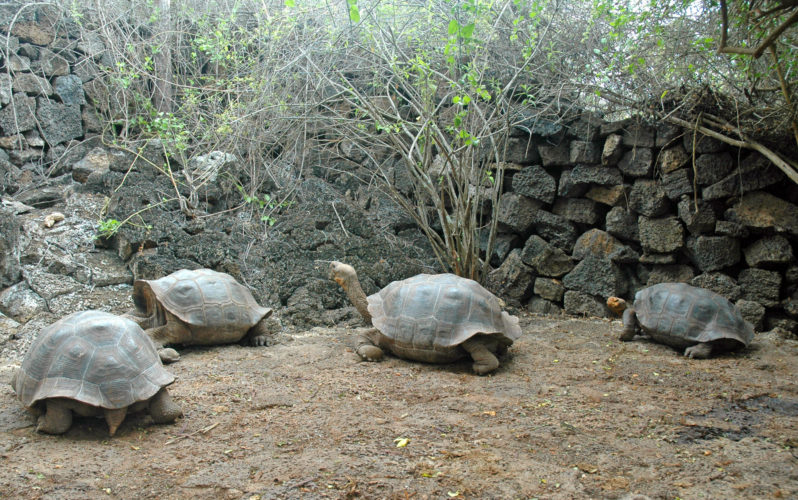Tortoises at the Charles Darwin Research Station