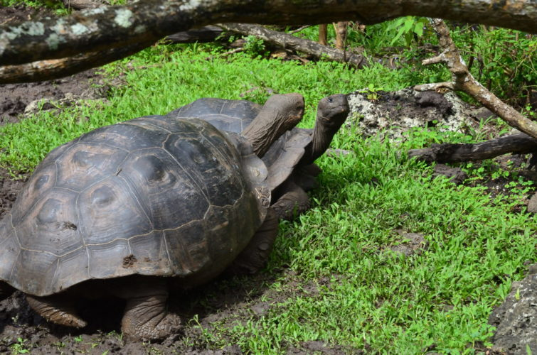 Galapagos Tortoises at Asilo de la Paz