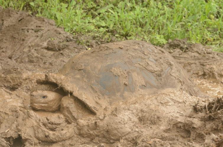 A Wild Tortoise taking a Mud Bath