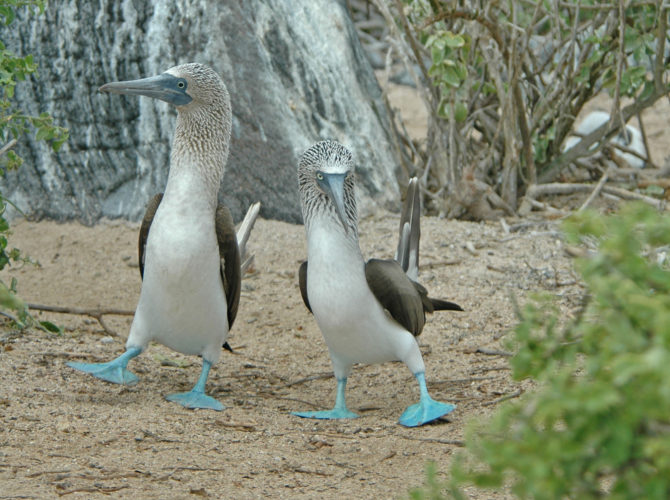Blue Footed Booby Courtship