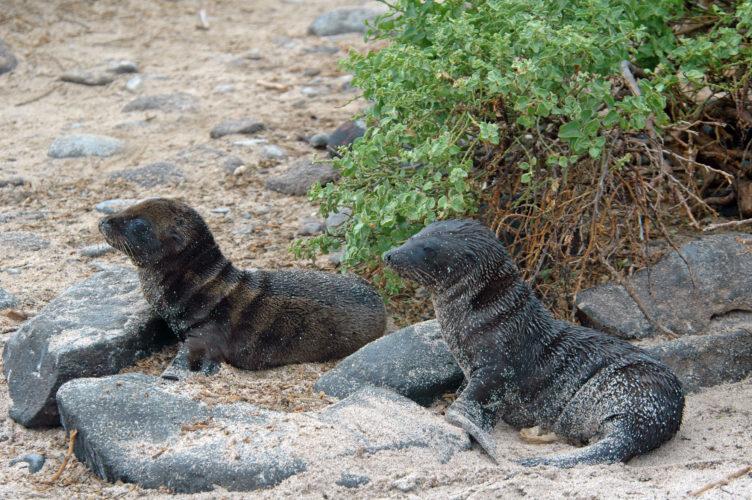 Baby Sea Lions at Punta Suarez