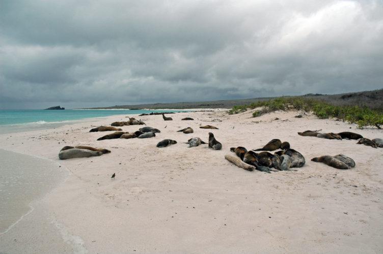 Sea Lions at Bahia Gardner